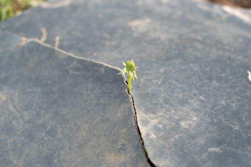 Semilla que crece con concepto de la ecología del pavimento de la grieta Brote de levantamiento en la tierra seca imagenes de archivo
