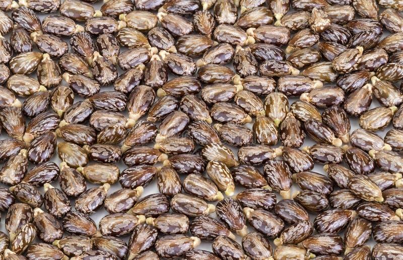 Semilla-ricinus del aceite de ricino communis imágenes de archivo libres de regalías