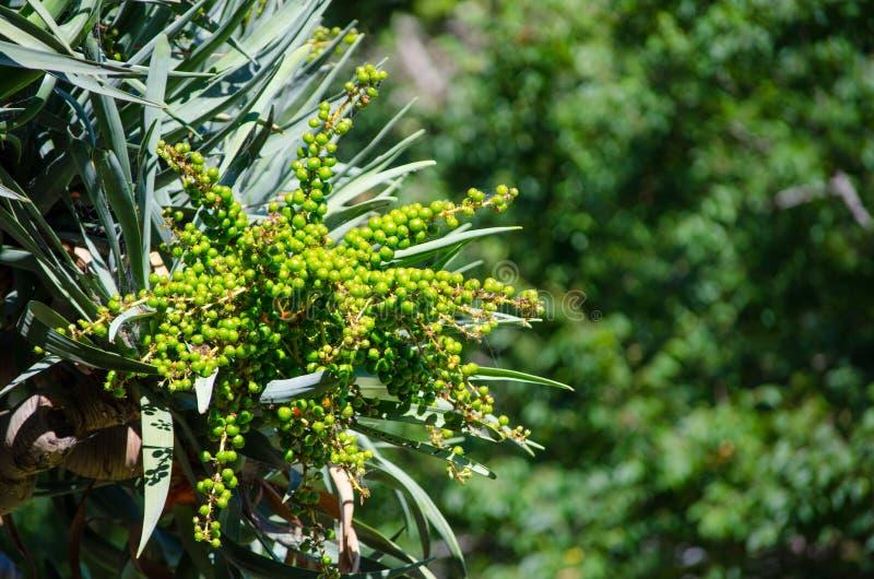 Semillas crudas verdes del árbol de la sangre del ` s del dragón en su rama en cierre para arriba en un jardín botánico foto de archivo
