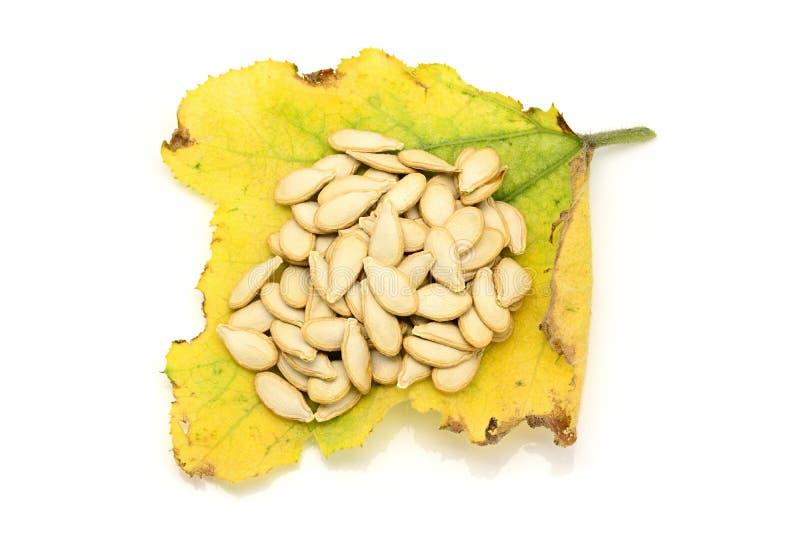 Semillas de calabaza secadas en las hojas de la calabaza que amarillean y de muertes imagen de archivo libre de regalías