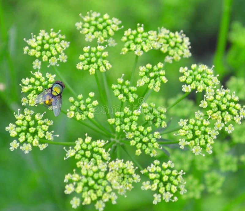 Semillas de coriandro, hojas verdes frescas del cilantro en fondo de madera fotos de archivo