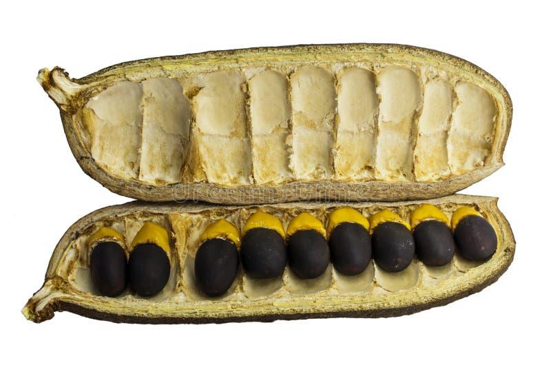 Semillas de Craib del xylocarpa de Afzelia foto de archivo libre de regalías