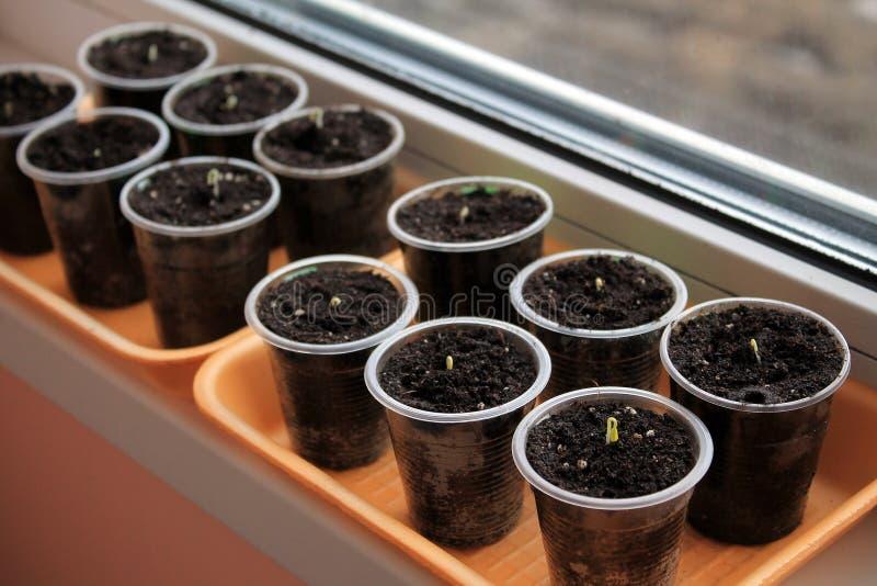 Semillas de la germinación del tomate y de la pimienta en alféizar imagen de archivo