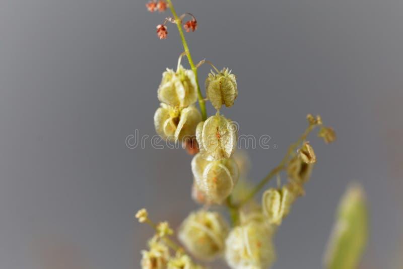 Semillas de una planta del muelle de la vejiga, vesicarius del Rumex fotografía de archivo