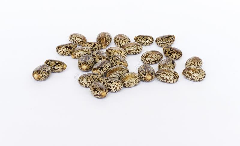 Semillas del aceite de ricino foto de archivo libre de regalías