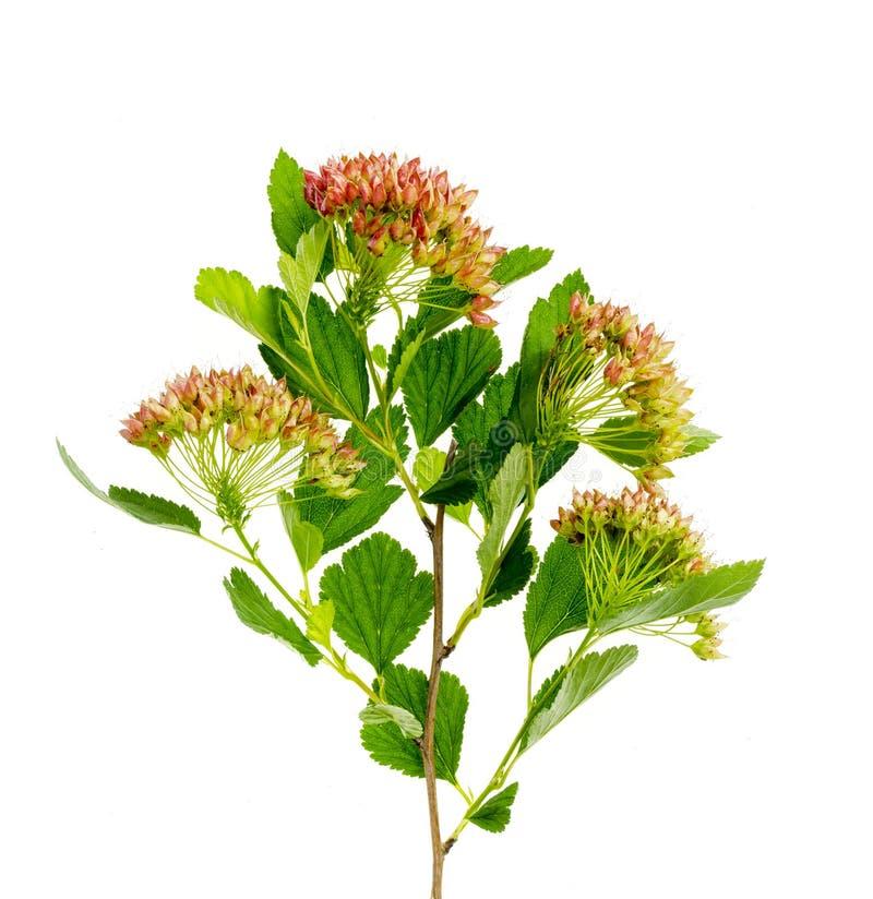 Semillas del otoño en la inflorescencia del opulifolius del physocarpus del arbusto imagen de archivo