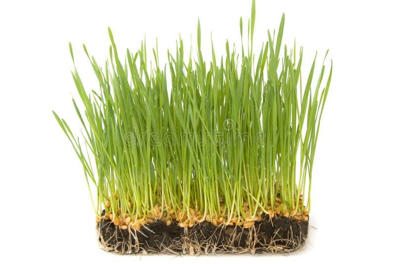 Semillas del trigo con los brotes verdes imagenes de archivo