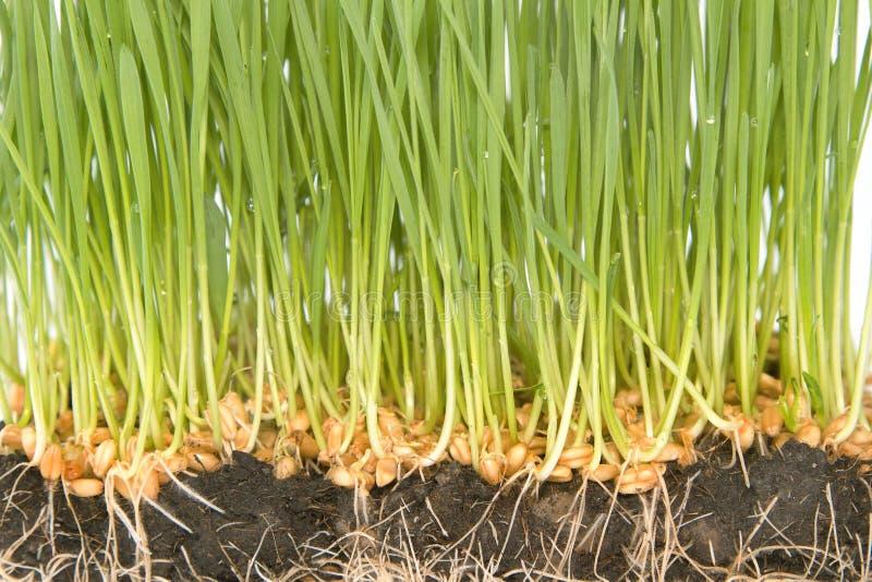 Semillas del trigo con los brotes verdes imagen de archivo