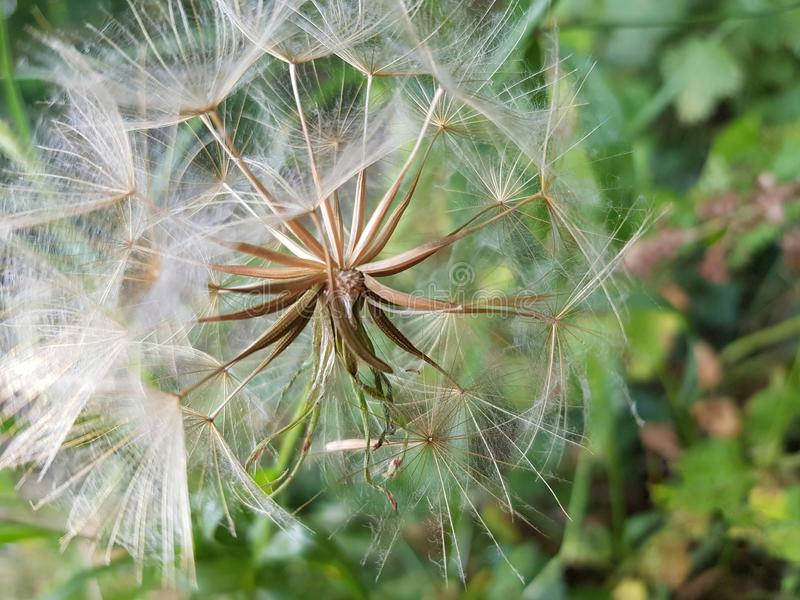 Semillas del Windflower imagen de archivo libre de regalías