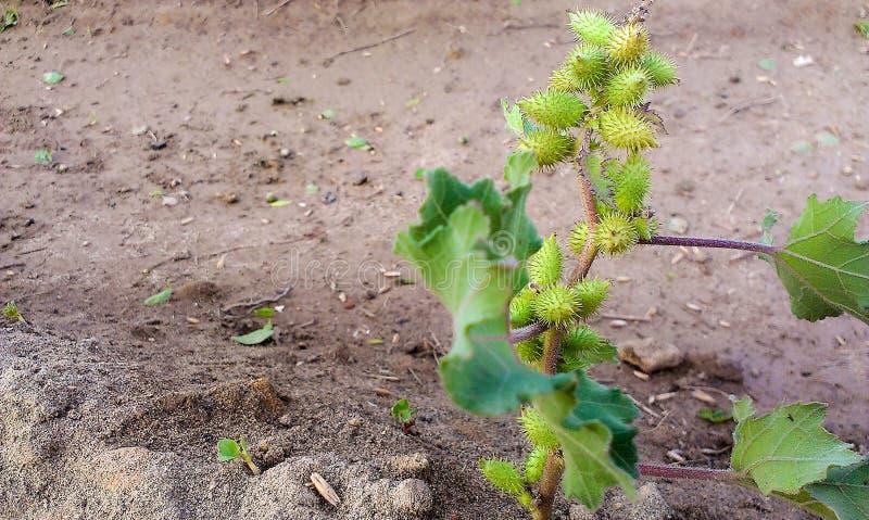 Semillas verdes en la planta foto de archivo libre de regalías