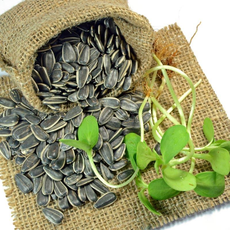 Semillas y brotes secados de girasol imagen de archivo libre de regalías