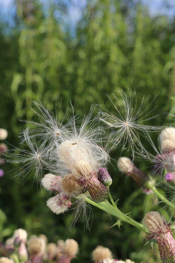 Semillas y flores de la pelusa del cardo de leche, portada de la revista o cartelera fotografía de archivo libre de regalías