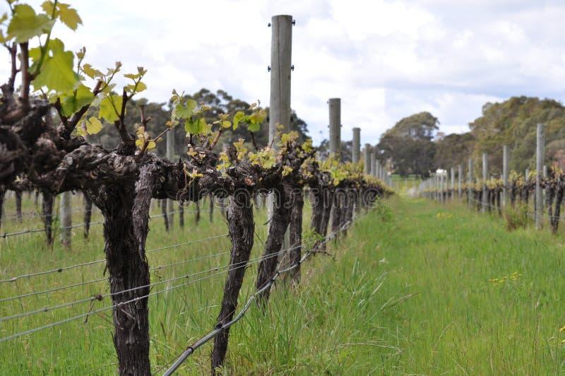 Semillion Grape vines Margaret River Western Australia. Semillion Grapes growing on a vine winery orchard Margaret River Western Australia stock photography