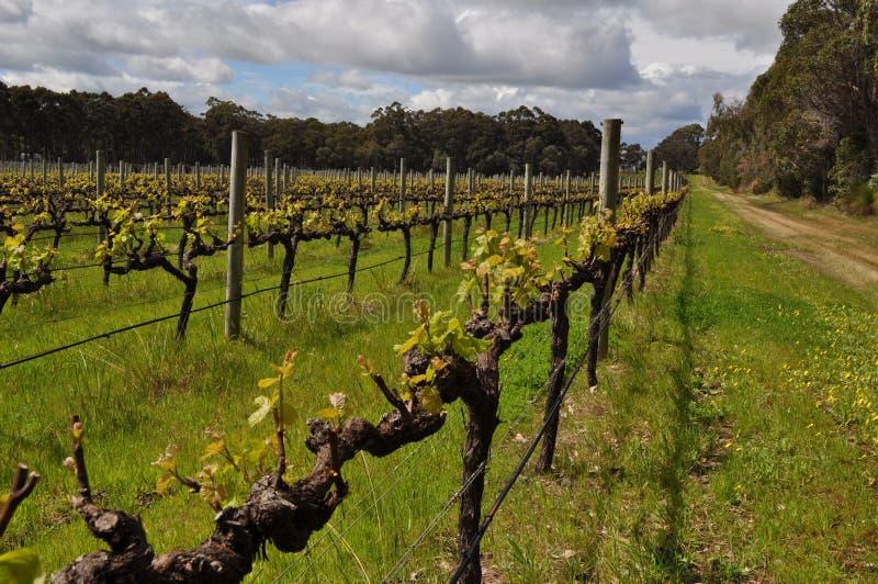 Semillion Gronowych winogradów Margaret rzeki zachodnia australia zdjęcie royalty free