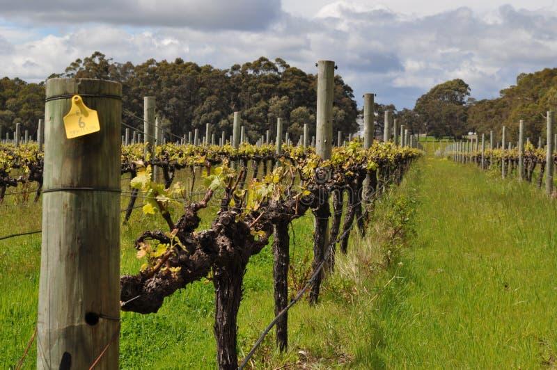 Semillion Gronowych winogradów Margaret rzeki zachodnia australia fotografia stock