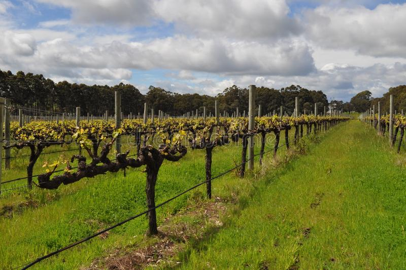 Semillion Gronowych winogradów Margaret rzeki zachodnia australia zdjęcie stock