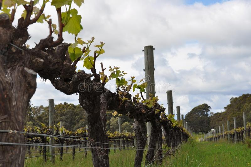 Semillion Gronowych winogradów Margaret rzeki zachodnia australia obraz royalty free