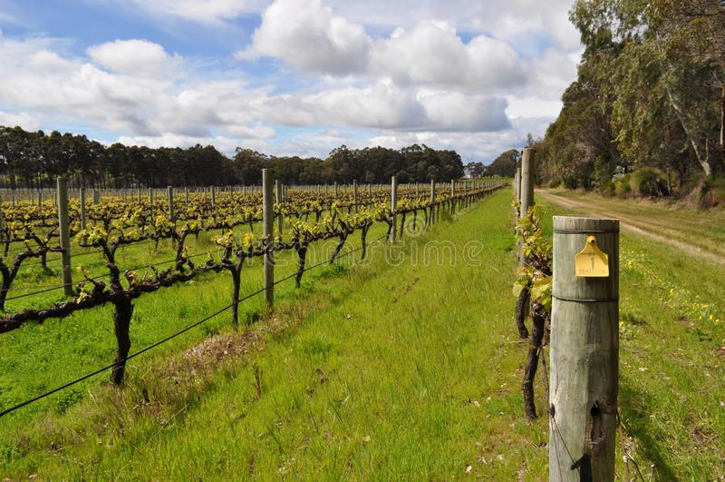 Semillionwijnstokken Margaret River Western Australia royalty-vrije stock fotografie