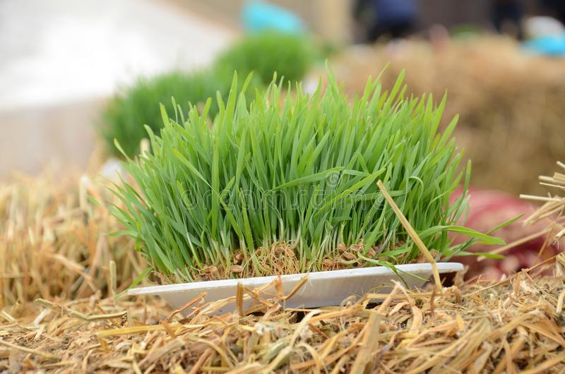 A seminal siege on a red ribbon on a dry grass. Novruz national Azerbaijan holiday spring new year celebration concept, wheat grass semeni . A seminal siege on a stock photography