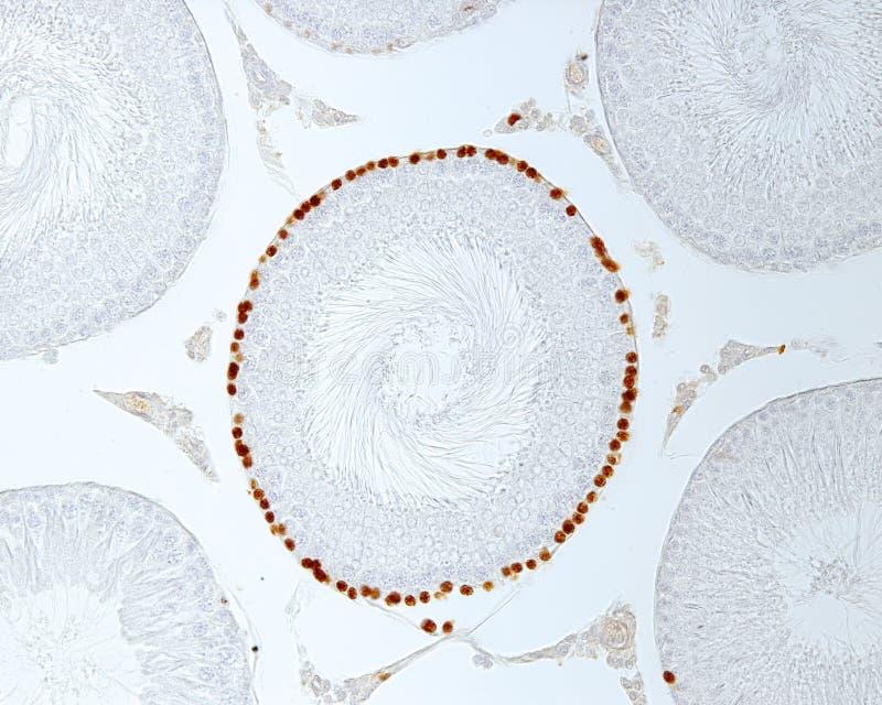 Seminiferous Röhrchen Kennzeichnung von Zellen der starken Vermehrung stockfoto