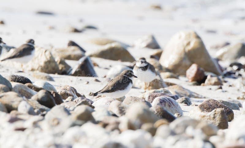 Semipalmated珩科鸟在一个白色沙子海滩的Charadrius semipalmatus 免版税库存图片