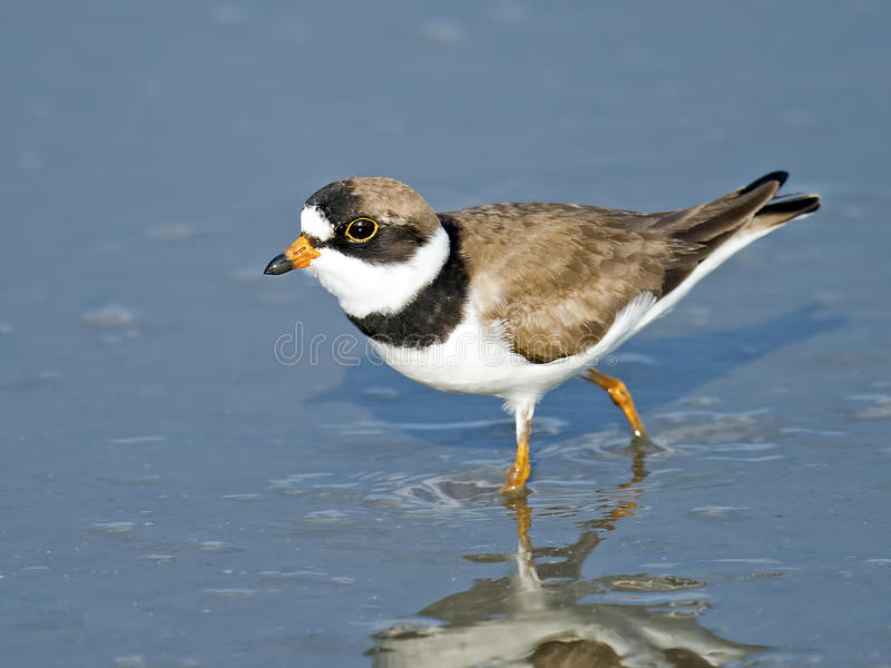Semipalmated珩科鸟在沼泽 免版税库存照片