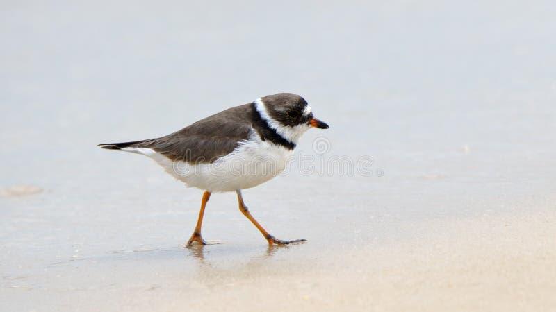 semipalmated珩科鸟走在一个湿海滩的水鸟 免版税库存照片