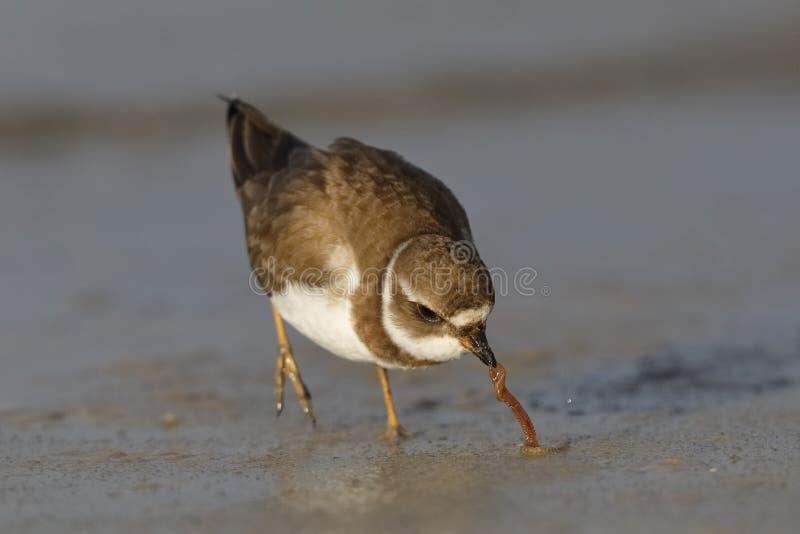 Semipalmated brockfågelutdragning avmaskar från sanden på en golf av den Mexico stranden - Florida royaltyfri fotografi