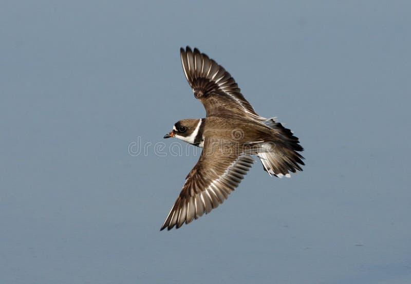 Semipalmated plover, Charadrius semipalmatus, stock photos