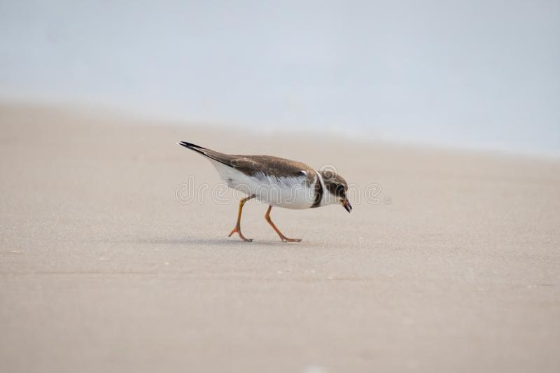Semipalmated Plover Foraging for Food in the Sand at the Ocean's Edge royalty-vrije stock foto's
