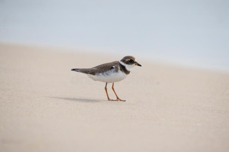Semipalmated Plover Foraging for Food in the Sand at the Ocean's Edge stock foto's