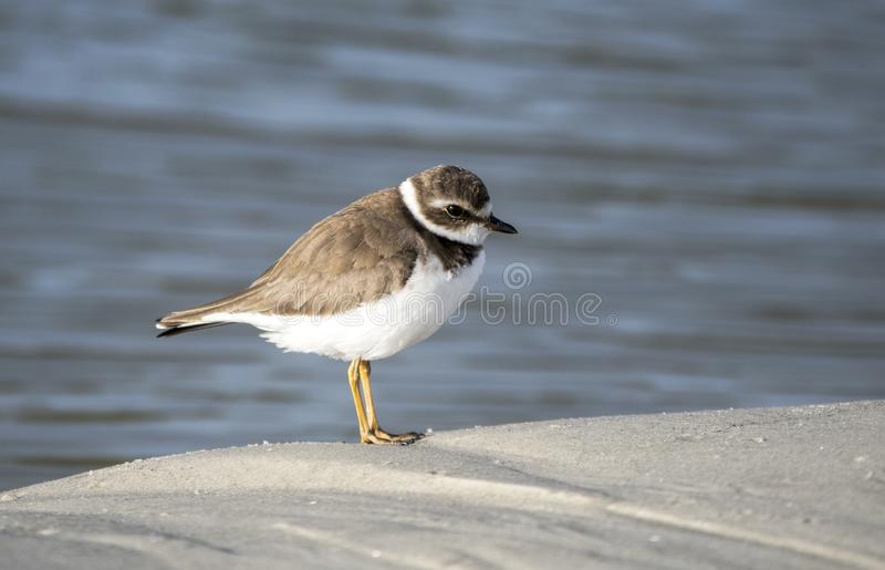 Semipalmated Plover shorebird on the Atlantic ocean beach on Hilton Head Island, South Carolina, USA. Charadrius semipalmatus is a small plover that migrate in royalty free stock photo