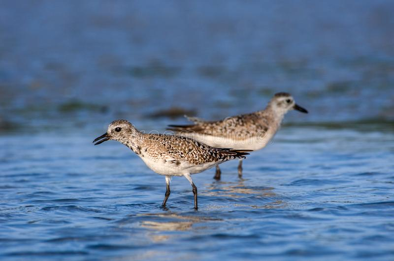 Semipalmated sandpipers wading in blue water in Southwest Florida. Semipalmated sandpipers foraging at Wiggins Pass, Naples, Florida stock image