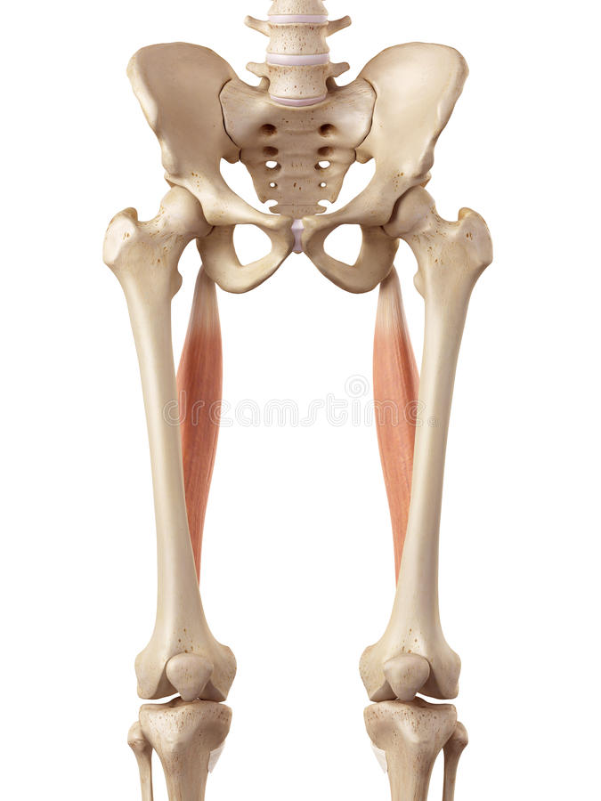 The semitendinosus stock illustration. Illustration of bone - 56286702