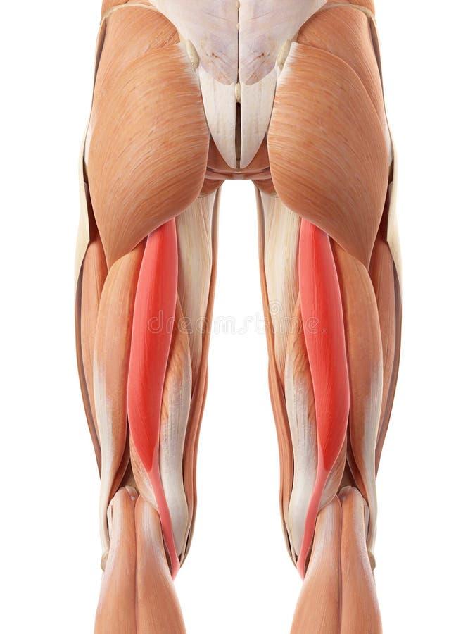 The semitendinosus stock illustration. Illustration of anatomy ...