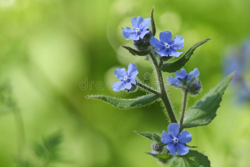 Sempervirens оглушать цветя Pentaglottis wildflower, зеленый alkanet, вечнозеленый bugloss, или alkanet стоковые фото