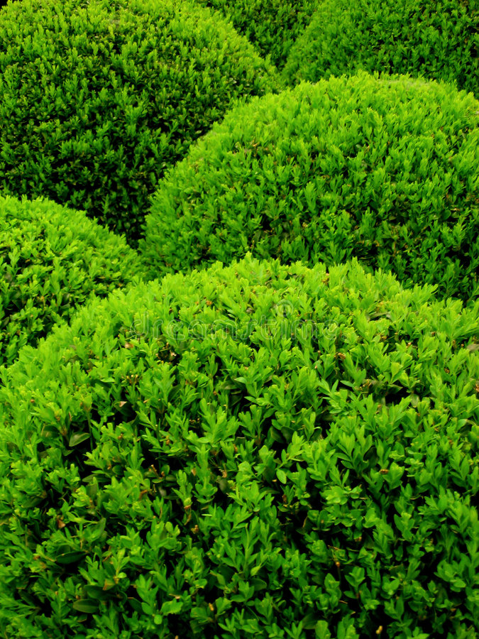 Sempervirens do Buxus foto de stock royalty free