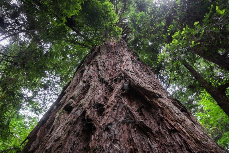 Sempervirens grandes de la secoya del árbol de la secoya fotografía de archivo libre de regalías