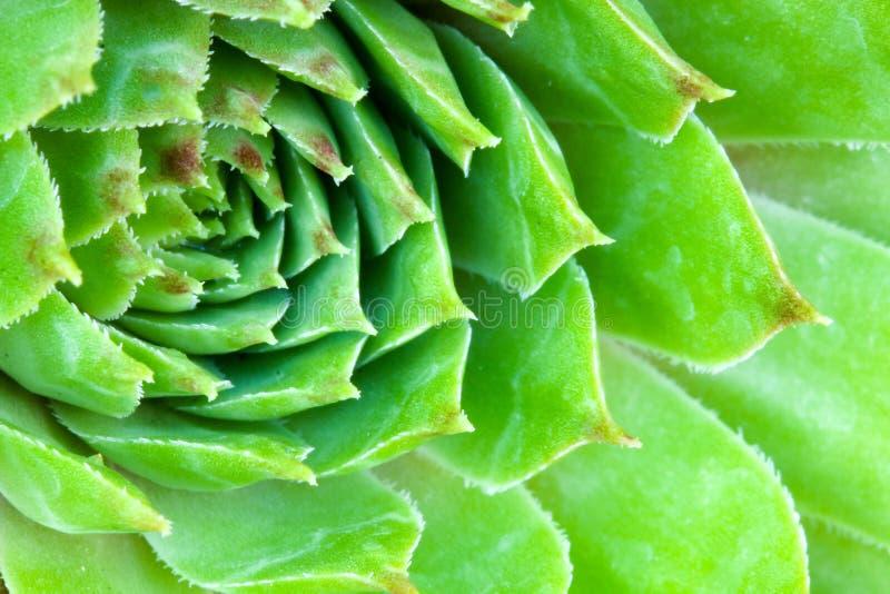 Sempervivum多汁植物关闭 皇族释放例证