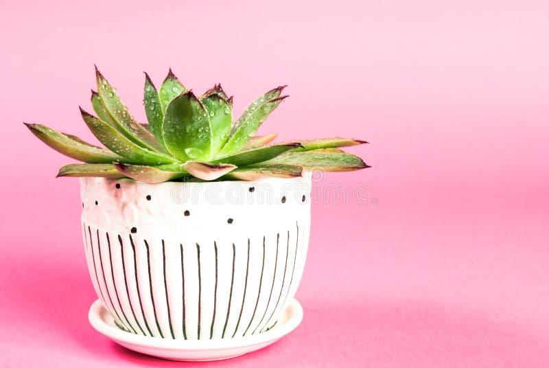 Sempervivum в баке с капельками воды на розовой предпосылке стоковые фотографии rf