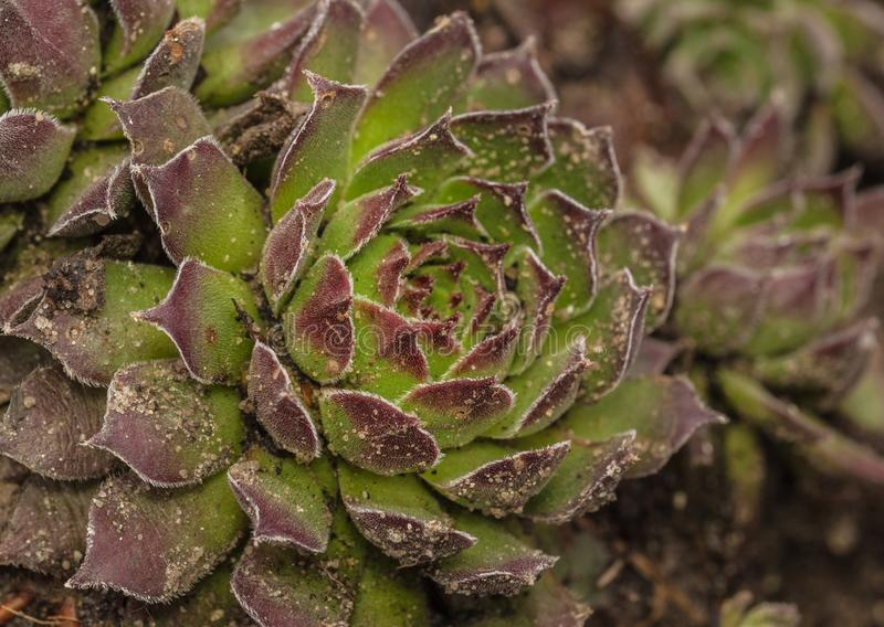 Sempervivum розеток стоковое фото rf