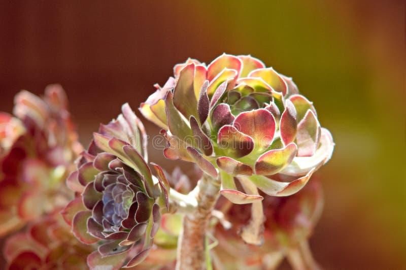 "Sempervivum ""Sunkist"" stock foto's"