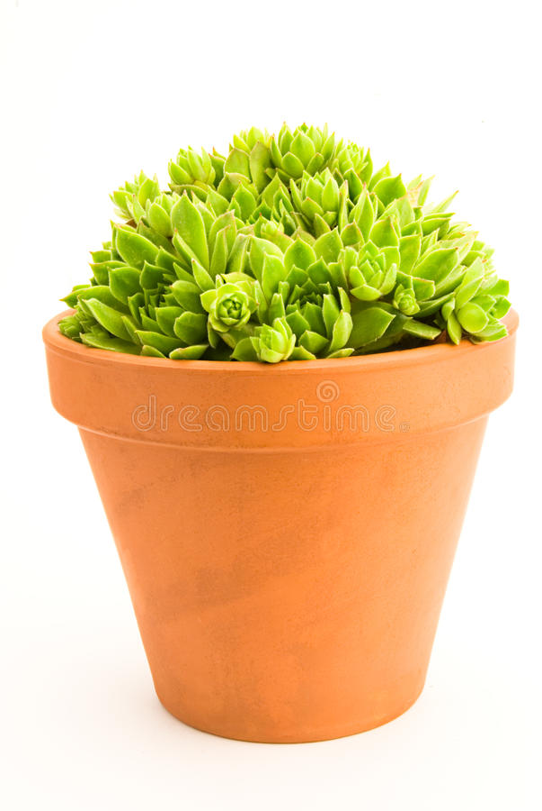 sempervivum στοκ φωτογραφία
