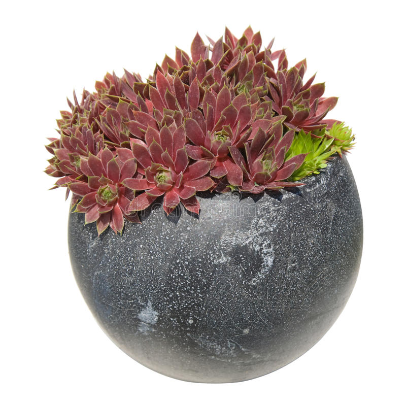 Free Sempervivum Royalty Free Stock Images - 9987579