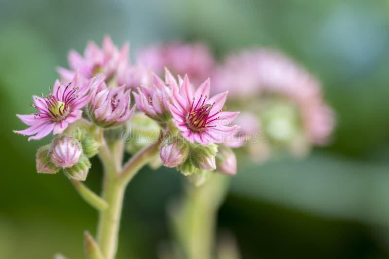 Sempervivum arachnoideum四季不断的开花植物,明亮的桃红色花 库存图片