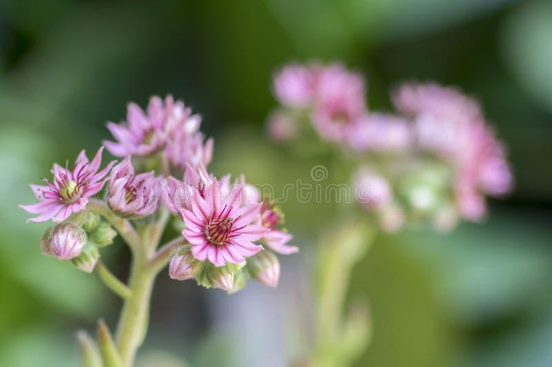 Sempervivum arachnoideum四季不断的开花植物,明亮的桃红色花 免版税库存照片