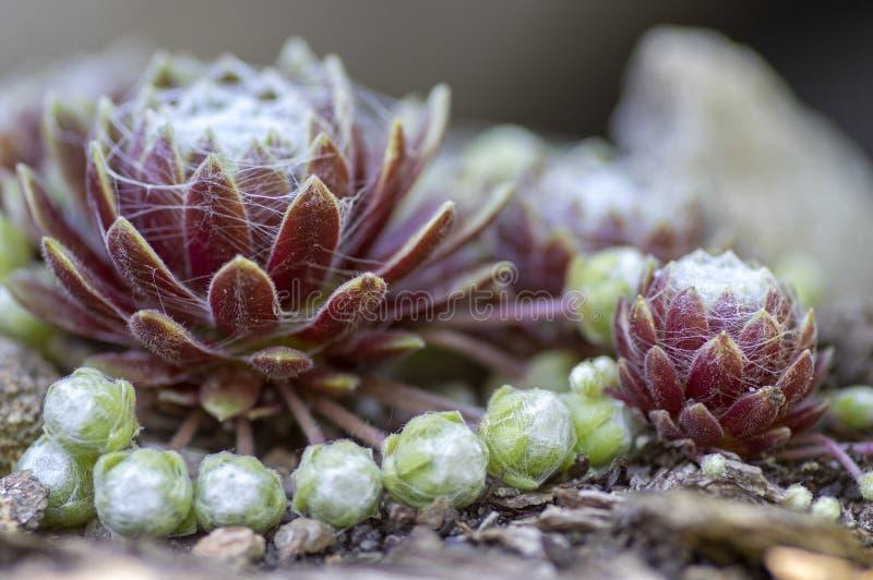 Sempervivum arachnoideum多汁四季不断的植物,与典型的蜘蛛网,紫色和绿色玫瑰华饰的蜘蛛网家韭葱 图库摄影