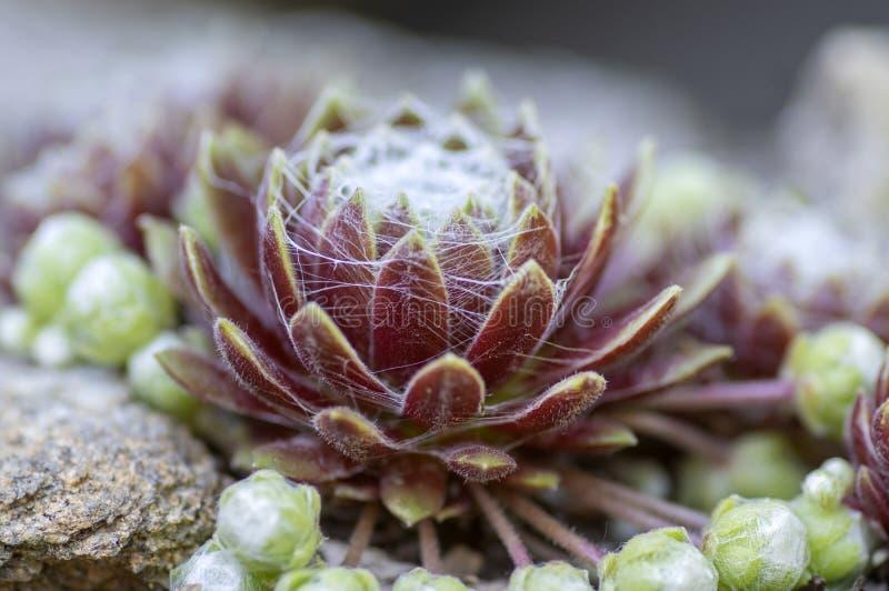 Sempervivum arachnoideum多汁四季不断的植物,与典型的蜘蛛网,紫色和绿色玫瑰华饰的蜘蛛网家韭葱 免版税库存照片