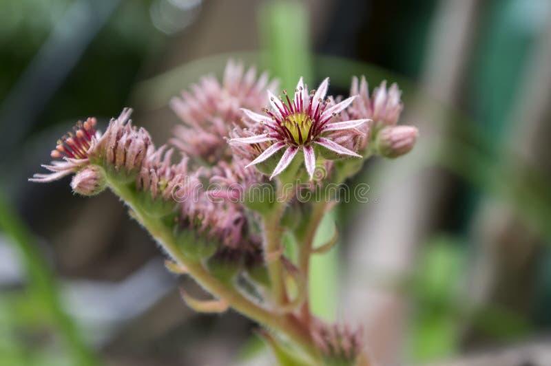Sempervivum-arachnoideum beständige blühende Pflanze, helle rosa Blumen lizenzfreies stockfoto