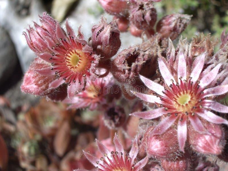 Sempervivum fleurissant, poules et nanas photos libres de droits